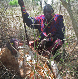 Masai cow killed by lion