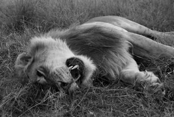 external image dead-lion.jpg