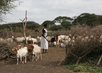 Goats leave a boma
