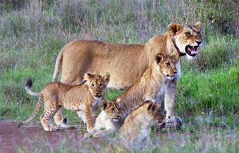 Lion familia