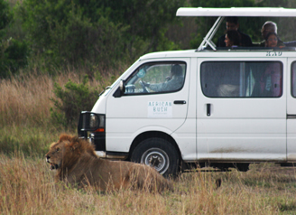 Lion in a National Park